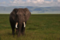 Elephant Ngorongoro Crater Royalty Free Stock Photo