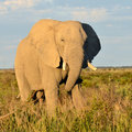 Elephant from nxai pan botswana in national park in evening sunshine Royalty Free Stock Image