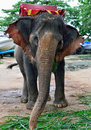 Elephant pattaya waiting for passenger in the thai temple sanctuary of truth in thailand Stock Photo