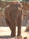 Elephant photo of in chester zoo Stock Image
