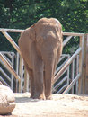 Elephant photo of in chester zoo Royalty Free Stock Image