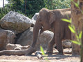 Elephant photo of in chester zoo Royalty Free Stock Photo