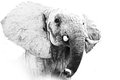 Elephant Portrait Royalty Free Stock Photo