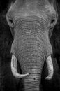 Elephant portrait close encounter with big male Stock Photos