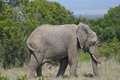 Elephant in Profile with its Head Down Royalty Free Stock Photo