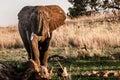 Elephant reaching Royalty Free Stock Photo