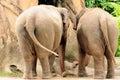 Elephant Rears
