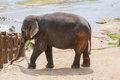 Elephant on a river bank Royalty Free Stock Photo