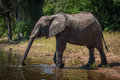 Elephant on riverbank stretching trunk to drink Royalty Free Stock Photo