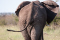 Elephant s back end a young walks away in south africa madikwe game reserve Stock Photo