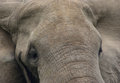 Elephant s head detail full frame frontal of a in uganda africa Stock Photo