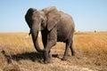 Royalty Free Stock Images Elephant