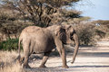 Elephant in the savannah of africa Royalty Free Stock Image