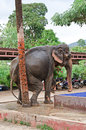 Elephant scratching against a tree an asian his ass palm Stock Photo