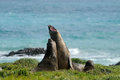 Elephant Seal Stock Photography