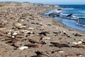 Elephant seal beach a number of wild seals sleeping on a californian Royalty Free Stock Photos