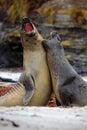 Elephant Seal, Mirounga Leonin...