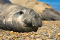 Elephant seal in Peninsula Valdes, Patagonia. Royalty Free Stock Photo
