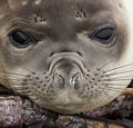 Elephant Seal Pup - Falkland Islands Royalty Free Stock Photo