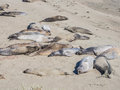 Elephant seal rookery Royalty Free Stock Photo