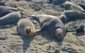 Elephant Seals 2 Stock Images