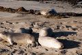 Elephant seals on beach in california usa colony of the big sur coast of Royalty Free Stock Images