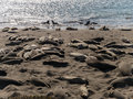 Elephant seals on the beach piedras blancas rookery at san simeon california Royalty Free Stock Photography