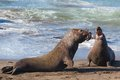 Elephant Seals Fighting Royalty Free Stock Image