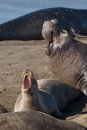 Elephant seals fighting fight during mating season near san simeon california usa Stock Image