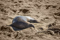 Elephant seals during mating season on California coast with dead seal puppy Royalty Free Stock Photo