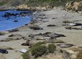 Elephant seals molting on beach at big sur Stock Image