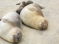 Elephant seals napping sleeping on the sand Stock Image