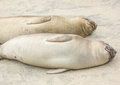 Elephant seals sleeping on the sand Stock Photos