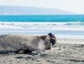 Elephant seals yawning california usa Royalty Free Stock Image