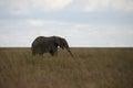 Elephant in serengeti a lone national park tanzania Stock Photos