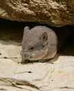 Elephant shrew 2 Royalty Free Stock Photo