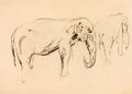 Elephant sketch Royalty Free Stock Photo