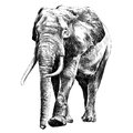 Elephant sketch graphics vector