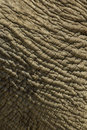 Elephant skin rough with some hairs on it Royalty Free Stock Image