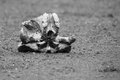 Elephant skull laying on dry ground in harsh sun artistic conver the conversion Royalty Free Stock Photo