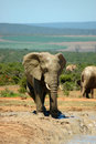Elephant in South Africa Royalty Free Stock Photography