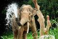 Elephant splash trhowing water trhough its trunk Stock Image