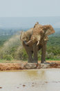 Elephant spraying bull water and mud over his back in south africa Stock Photos