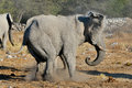 Elephant squabble, Etosha National park, Namibia Royalty Free Stock Images