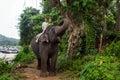 Elephant, Sri Lanka Royalty Free Stock Photo