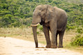 An elephant standing on a gravel road alert the edge of Stock Photo