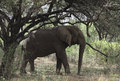 Elephant standing in national park Stock Photography
