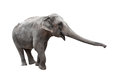 Elephant with stretched trunk isolated on white Stock Photo