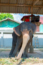 Elephant swaying tourist attraction in koh chang thailand thai from left to right island trat province Stock Photography