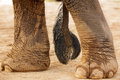 Elephant tail and foot Stock Images